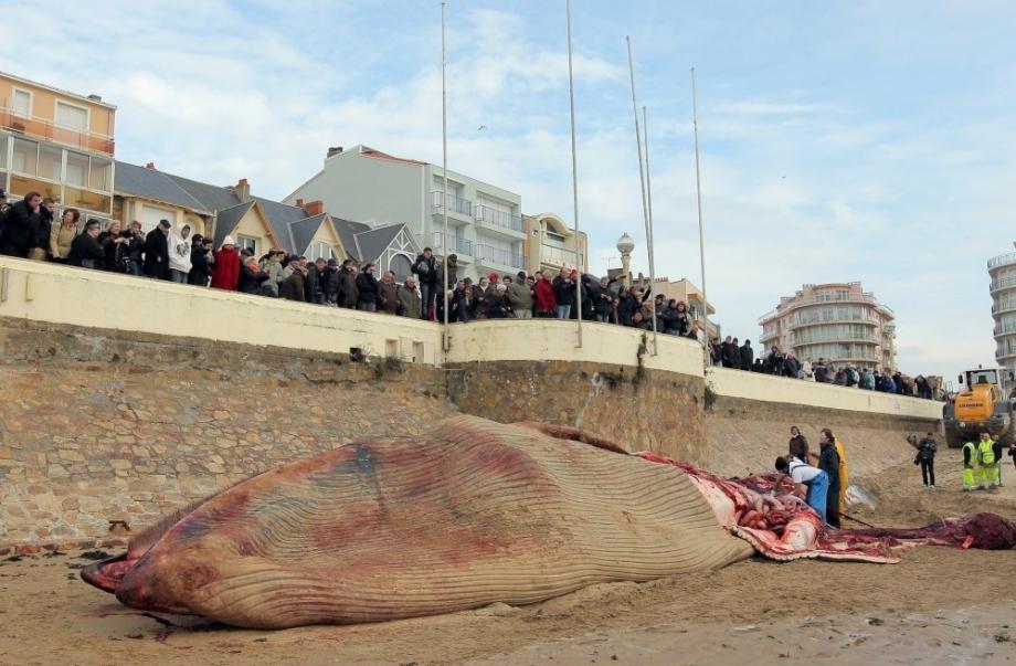 échouage d'une baleine en bretagne le-public-qui-attend-l-arrivee-du-vainqueur-du-vendee-gl_002