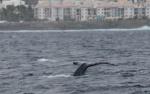 Quinze baleines seront équipées (image : Globice)