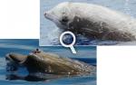 En haut, la baleine à bec de Cuvier, Ziphius cavirostris, la plus commune des baleines à bec. En bas, la baleine à bec de Blainville, Mesoplodon densirostris, qui vit dans les eaux chaudes. © Bahamas Marine Mammal Research Organisation