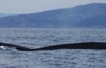 Selon données disponibles auprès du ministre des Pêches, chaque baleine tuée coûte près de 700 000 $ aux contribuables islandais. Photo : anik boileau