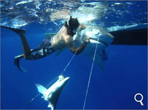 Photographie prise au large de Bimini dans les Bahamas. Le plongeur essaie de libérer la proie. Les palangres de surface (drum-lines) sont couramment utilisées pour capturer cette espèce. © NWFblogs, Flickr, CC by-nc-nd 2.0