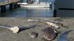 requins-zepines