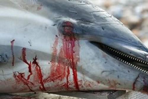 massacre-dauphins-Taiji