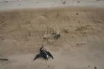 les oiseaux affaiblis se rapprochent de la dune où ils agonisent de longues heures s'ils ne sont pas tout de suite récupérés.