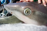 requin-c-shepard