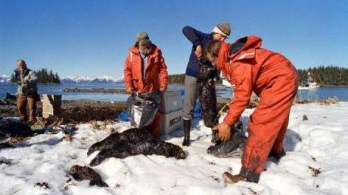 Des hommes emportent des otaries mortes engluées dans le pétrole échappé de l'Exxon-Valdez en Alaska pour être autopsiées à Valdez en Alaska aux Etats-Unis, le 3 avril 1989.Chris Wilkins