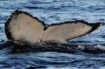 La baleine à bosse avait été officiellement déclarée espèce menacée en 2005 sur recommandation d'un panel de scientifiques. Photo Reuters