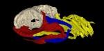 Reconstruction 3D de la mâchoire d'Ozarcus mapesae. AMNH/A. Pradel
