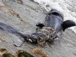 loctudy-un-requin-pelerin-s-echoue