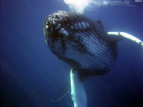 Les baleines peuvent communiquer par infrasons d'un continent à l'autre.