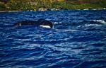 les baleines ont été aperçues