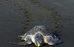 tortues-Nicaragua