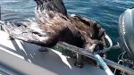 L'aigle à bord du bateau de pêche au large de Nanoose BayPhoto : Irsrugby1/YouTube