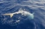 36 requins capturés en neuf mois. Manque encore 31 requins bouledogue et 23 requins-tigres pour atteindre le quota fixé par l'Etat (photos d'archives).