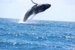 Une baleine qui saute, un spectacle époustouflant. Photo : Bertrand Prévost