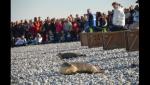 6 jeunes phoques remis à l'eau