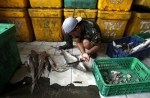 Plus de 100 millions de requins sont massacrés tous les ans. Parmi les animaux les plus anciens du monde, ce poisson régule l'écosystème du poumon de la planète, les Océans. Image : Keystone