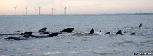 Une quarantaine de globicéphales au large de la côte d'Essex, en Grande-Bretagne, le 18 novembre 2014