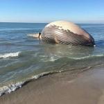Une baleine s'est échouée aux Saintes-Marie-de-la-Mer© Leila Méchaouri / Radio France