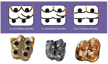 © LPRP/J.-R. Boisserie Schéma et photographies illustrant la transition évolutive de la denture entre un anthracothère (à gauche), Epirigenys (au centre), et un hippopotamidé primitif (à droite).  La dent représentée est une molaire supérieure droite. Les ronds noirs symbolisent les cuspides (reliefs principaux à la surface de la dent), les traits noirs les crêtes et les motifs orange des styles (îlots d'émail).