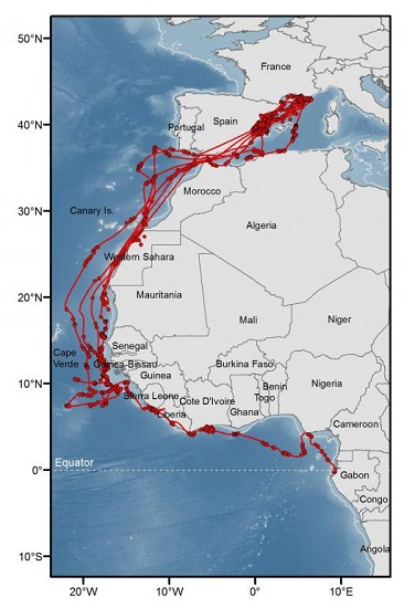 L'enregistrement des trajets des oiseaux effectués grâce à des balises Argos permet aux chercheurs de suivre précisément leurs mouvements entre la France et l'Afrique. Carte réalisée par Clara Péron (CEFE-CNRS/Agence des Aires Marines Protégées).