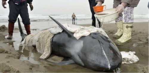 Des secouristes et des personnes tentaient le 10 avril 2015 de remettre à l'eau une centaine de dauphins échoués sur la plage d'Hokota, au nord de Tokyo. (AP Photo/Kyodo News)