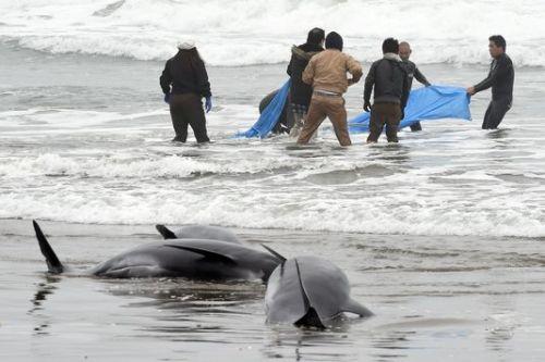 Des habitants tentent de secourir les mammifères échoués sur une plage d'Hokota, à 100 km au nord-est de Tokyo.AFP/TOSHIFUMI KITAMURA