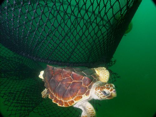Caretta caretta, s'échappant d'un filet de pêche en utilisant un dispositif d'exclusion des tortues. Photo U.S. National Oceanic and Atmospheric Administration (NOAA)