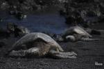 Selon Oceana, l'industrie de la pêche à la crevette au chalut du sud-est - la plus importante aux États-Unis - tue environ 53000 tortues marines chaque année dans le golfe du Mexique et dans l'océan Atlantique. PHOTO SYLVAIN SARRAZIN, ARCHIVES LA PRESSE