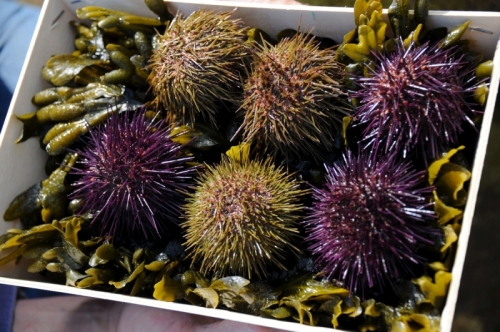 Yvan Le Gall vend actuellement un sixième de sa production pour le repeuplement. Le reste est transformée en terrines de corail, vendues aux restaurants, aux épiceries du coin et aux particuliers.© PHOTO AFP XAVIER LEOTY