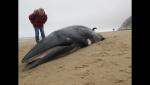Une baleine d'environ 3,5 mètres a été retrouvée morte échouée ce dimanche. De nombreux promeneurs ont été curieux d'approcher l'animal.