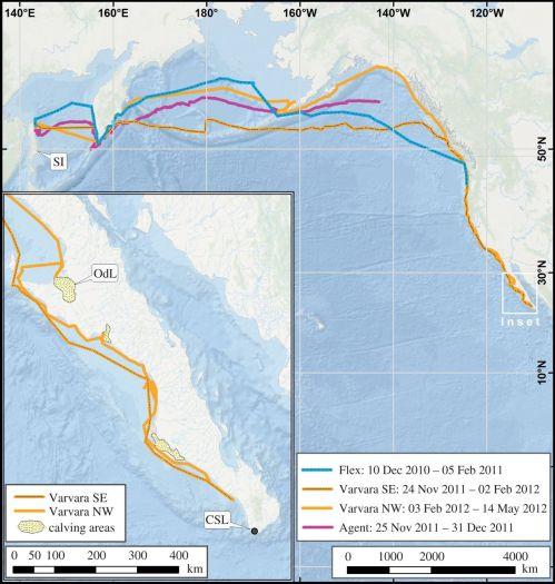 ruta-migratoria-ballena-gris