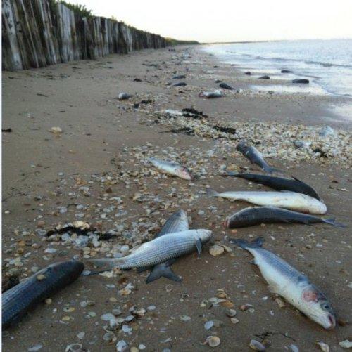 © Sabdra Chevret. La plage de St-Froult est jonchée de poissons morts sur près de 5 kilomètres.