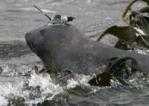 Elephant de mer équipé d'un capteur