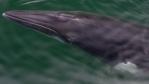Le baleineau était pris dans un cordage de pêchePhoto : CBC