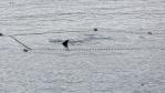 Une baleine franche de l'Atlantique Nord prise dans un filet de pêche au Cap-BretonPhoto : Marine Animal Response Society