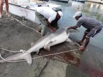 requin-bouledogue-massacre-ile-de-la-reunion-Juillet-2015
