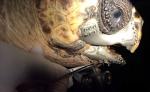Akut-3, la tortue sauvée par la technologie de l'impression 3D - BTech Innovation