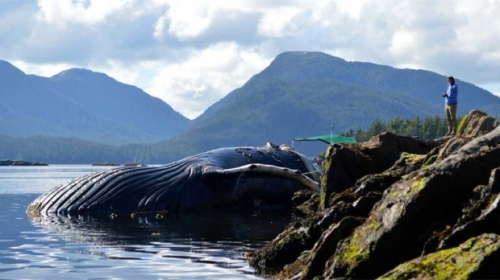 4-humpback-whales-dead-BC-Canada-August-12-2015