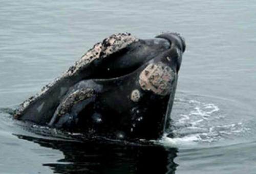 Les baleines noires vivent dans les eaux tempérées et subpolaires de l'Atlantique. On voit régulièrement des baleines noires dans la baie de Fundy, la partie ouest du plateau néo-écossais et le golfe du Saint-Laurent. On en observe également au large des côtes de la Nouvelle-Écosse et de Terre-Neuve-et-Labrador. (Source: Pêches et Océans Canada)