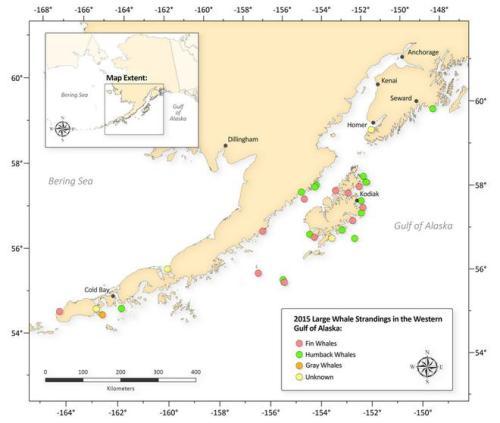Cette cartographique de l'agence NOAA datée du 14 août 2015 répertorie les carcasses de baleines retrouvées depuis le mois de mai.