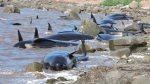 16 baleines-pilotes échouées en Nouvelle-Écosse. Photo : Elaine Legault