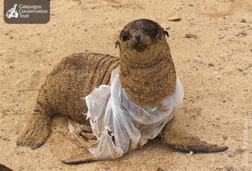 otarie-Galapagos