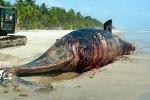 Cette baleine a été retrouvée morte, samedi dernier, sur la plage d'Assouindé (Ph : DR)