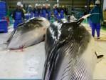 Baleines de Minke avant leur dépeçage dans une usine à Kushiro, préfecture de Hokkaido, dans le nord du Japon, en 2004. Photo: KEYSTONE/AP Kyodo News