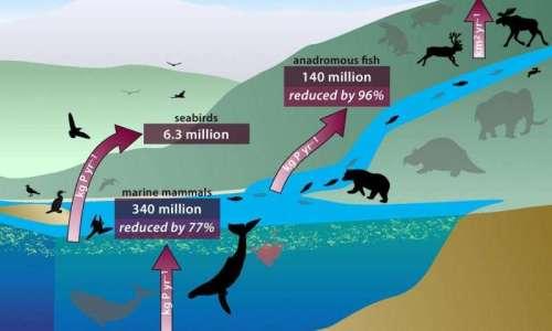 Le cycle du phosphore et la réduction des flux en kilo par an du fait de la baisse du nombre d'animaux. © PNAS
