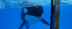 Orque-en-bassin-à-SeaWorld