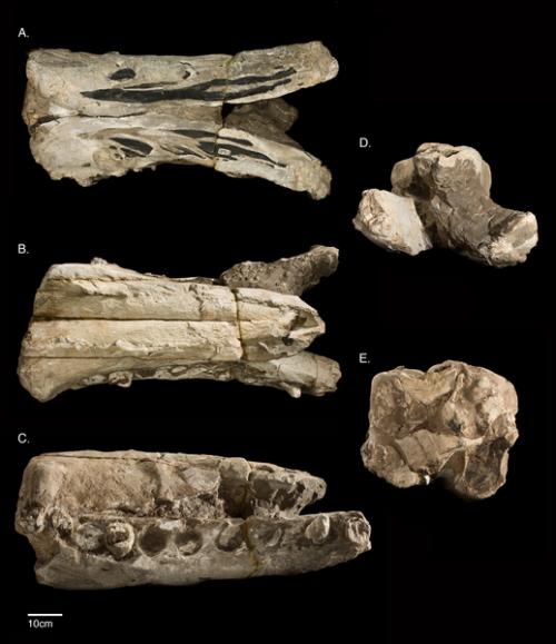 Albicetus-oxymycetus