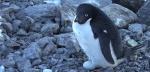 En 2014, tous les poussins Manchots Adélie sont morts de faim ou de froid. ©Capture d'écran de Youtube / ARTE