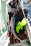 Requin peau bleue capturé par la palangre de surface en Atlantique Nord-Est. © Sébastien Biton Porsmoguer